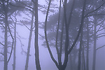 Trees in fog on the San Francisco Presidio, San Francisco, California