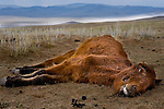 Even months after the winter, dead animals can been seen waiting to decompose in the summer heat.<br /> <br /> A series of vicious winters in Mongolia have devastated herds and ruined the livelihoods of traditional herders across the country. With no way to survive on the steppe, hundreds of thousands have descended on the capital, Ulan Batur, nearly doubling its population and creating a huge slum community that threatens to overwhelm available resources, including water, housing and employment.
