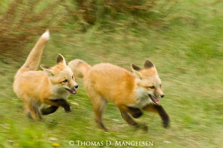 A red fox kit chases its sibling through a Wyoming meadow.
