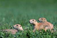 35-M02B-PDB-088    BLACK-TAILED PRAIRIE DOG (Cynomys ludovicianus) group on the lookout, Theodore Roosevelt National Park, North Dakota, USA .