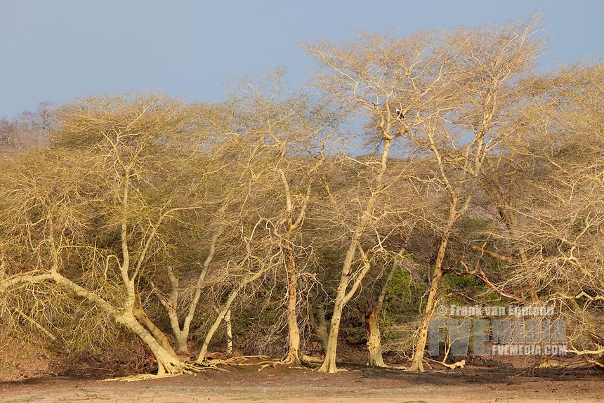 Fever Trees at Nyamity Pan, Ndumo South Africa.