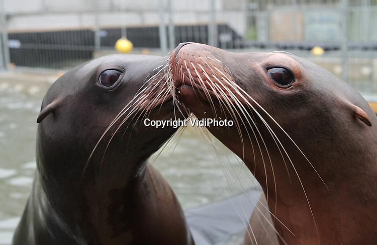 Foto: VidiPhoto..RHENEN - Liefde is... samen delen. De dieren van Ouwehands Dierenpark in Rhenen hadden maandag hun eigen Valentijnsdag. Knuffelen (wrattenzwijnen), kussen (zeeleeuwen) en tongen via een plastic voerbak, het gebeurde allemaal. .