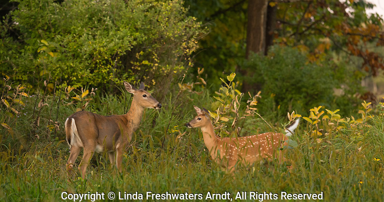 White-tailed doe and her fawn in an autumn field.