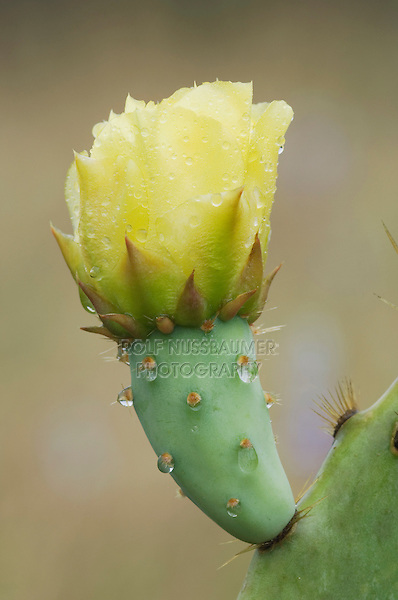 Texas Prickly Pear Cactus, Opuntia lindheimeri, blossom with water drops, Uvalde County, Hill Country, Texas, USA, April 2006.