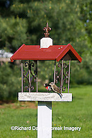 01539-01312 Rose-breasted Grosbeaks (Pheucticus ludovicianus) on bird feeder, Marion Co.  IL