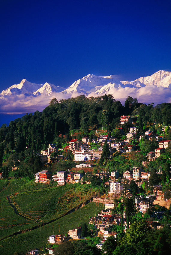 Tea gardens on slopes of Darjeeling with Kanchenjunga (the third highest peak in the world), the Himalayas, West Bengal, India