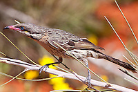 Spiny-Cheeked Honeyeater, Alice Springs Desert Park, NT, Australia
