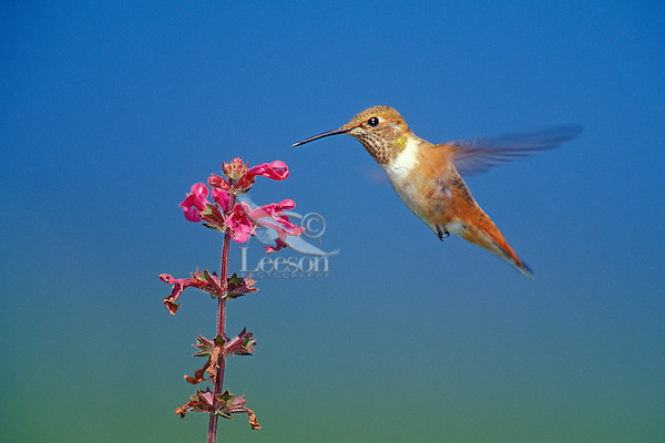 Rufous Hummingbird (Selasphorus rufous) female or immature necturing on flower (wild mint).  Pacific Northwest.