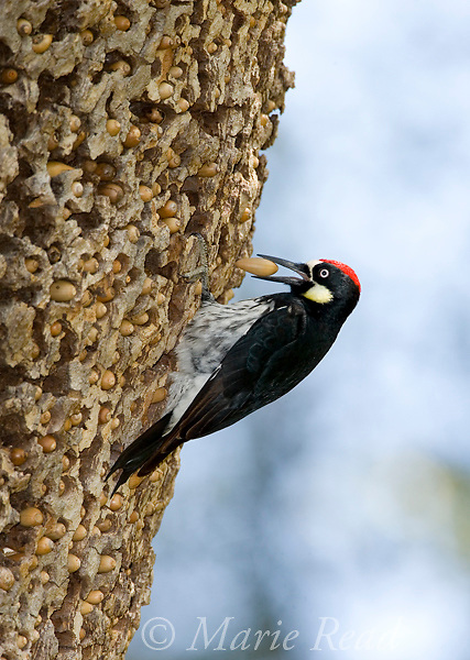 Acorn Woodpecker (Melanerpes formicivorus) male with an acorn, at its granary tree, Orange County, California, USA.