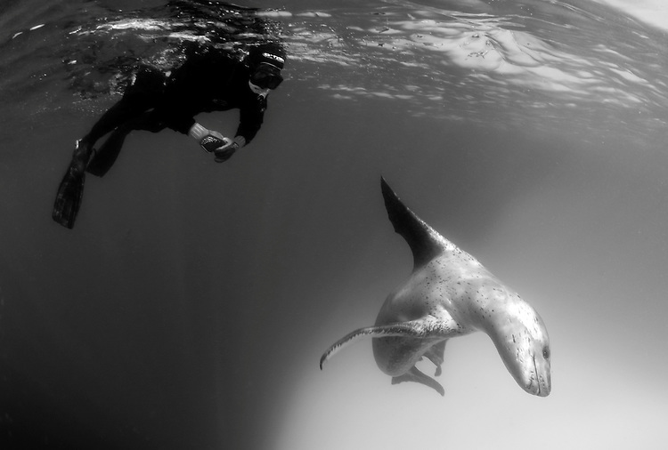 A snorkeller encounters a Leopard seal (Hydrurga leptonyx), Astrolabe Island, Antarctica