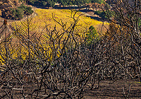 California native landscape, burned manzanita with vineyard in distance; 2017 Sonoma  fires, Pepperwood Preserve