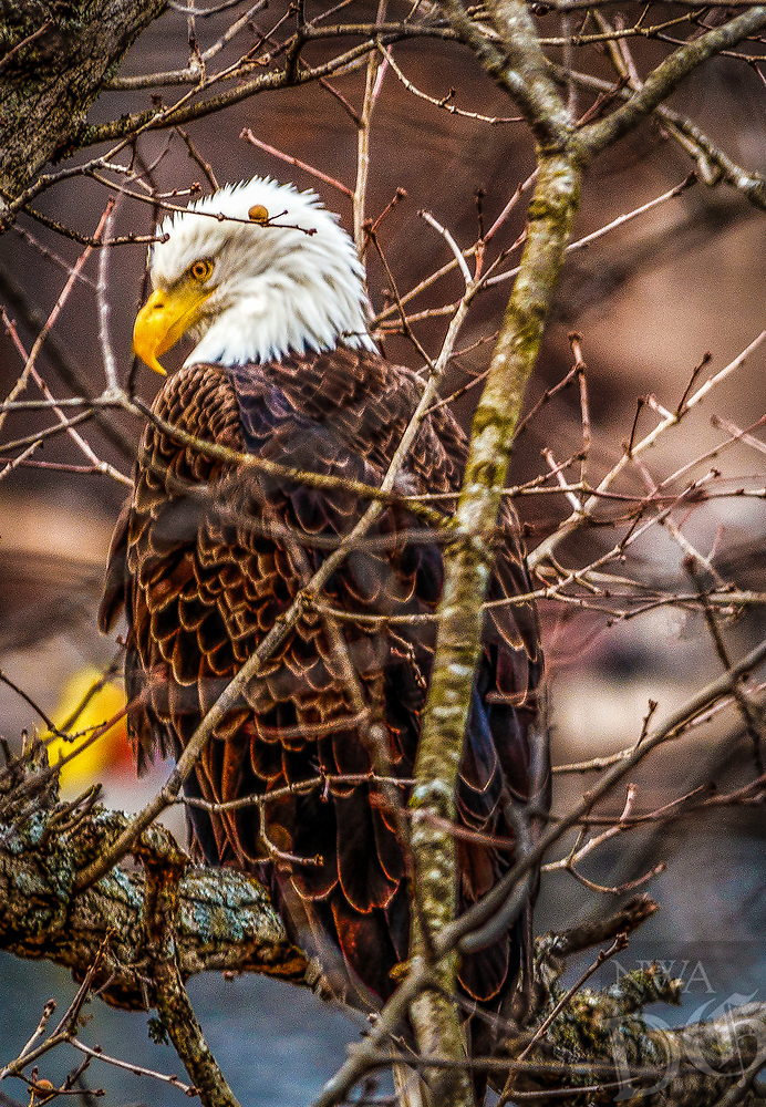 Courtesy photo/DON LOWE<br /> LAKE PATROL<br /> A bald eagle roosts near Loch Lomond in Bella Vista. Don Lowe of Bella Vista took the picture Jan. 21 at his home on the lake.