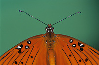 Gulf Fritillary, Agraulis vanillae, male, Lake Corpus Christi, Texas, USA, May 2003