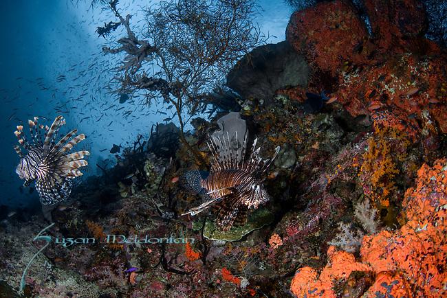 Pterois volitans is a venomous fish, also called zebrafish, firefish, turkeyfish