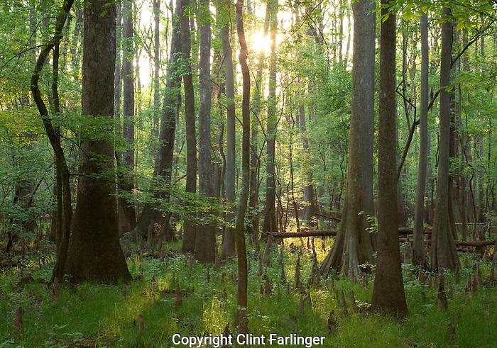 old-growth floodplain forest, Congaree National Park, South Carolina
