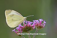 03061-00302 Cabbage White (Pieris rapae) on Brazilian Verbena (Verbena bonariensis) Marion Co.  IL