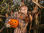 Scarecrow sneaking through a corn field with a stolen carved pumpking under his arm. Halloween theme.