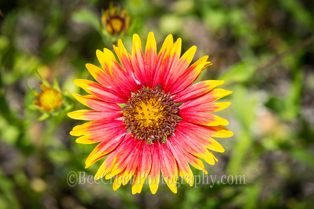 We capture this lovely Indian Blanket along the road. These wildflowers are abundant in the spring time every year and can carpet large areas in the Texas Hill Country.  They are also called firewheels.