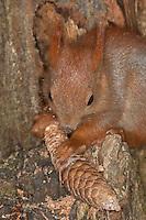 Eichhörnchen, Europäisches Eichhörnchen, frisst die Samen aus einen Fichtenzapfen, Zapfen, Sciurus vulgaris, European red squirrel, Eurasian red squirrel