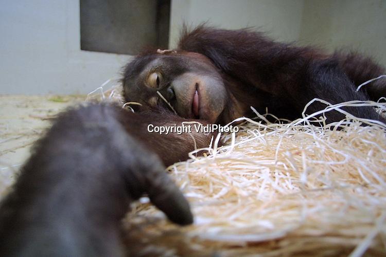 Foto: VidiPhoto..RHENEN - Twee orang oetans van Ouwehands Dierenpark in Rhenen zijn maandag vertrokken naar de dierentuin van Sosto in Hongarije. De verhuizing is onderdeel van een uitgebreid uitwisselingsprogramma voor bedreigde diersoorten. Om inteelt te voorkomen moesten de mannetjes Jago (21) en Joey (5) naar Hongarije. Ouwehands krijgt daarvoor weer orangs uit Engeland en Ierland terug. Voor hun vertrek werden Jafo en Joey uitgebreid onderzocht en ingeent.