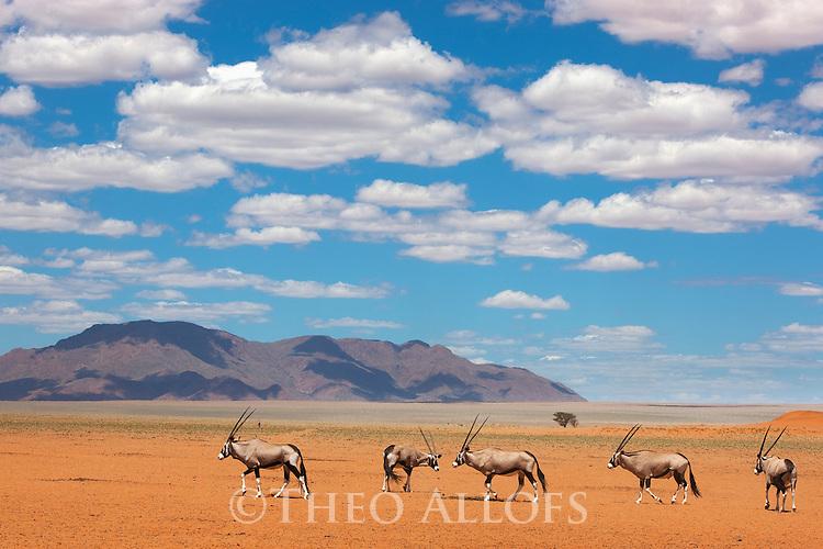 Namibia, Namib Desert, Namibrand Nature Reserve, oryx (Oryx gazella) crossing desert