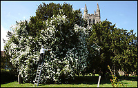 BNPS.co.uk (01202 558833)<br /> Pic: RichardCrease/BNPS<br /> <br /> Heaven Scent - 'Rambling Rector' runs riot in this  timeless Kent churchyard.<br /> <br /> Rector Canon Lindsay Hammond tends to the magnificent 'Rambling Rector' rose in  the churchyard of St Mildred's Church, Tenterden in the Weald of Kent. <br /> <br /> The magnificent bloom is over 100 years old and local myth claims its blooming heralds the start of summer.