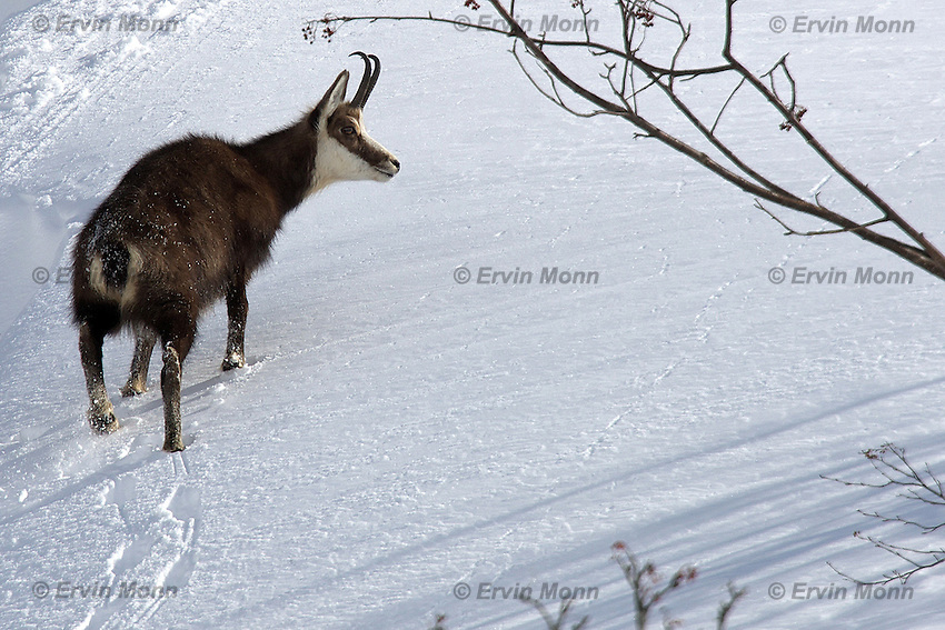 Chamois walking through the snow