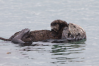 California Sea Otter (Enhydra lutris nereis), mother grooming her baby near Morro Rock in Morro Bay, California.
