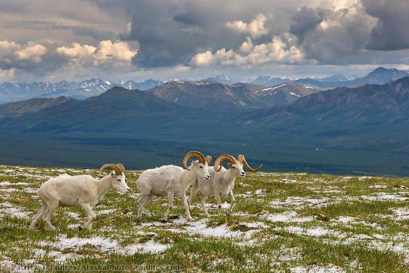 Band of Dall Sheep rams on a mountain ridge in Denali National Park, Interior, Alaska.