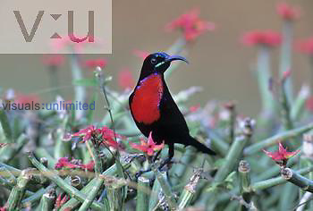 Male Hunter's Sunbird ,Chalcomitra hunteri,, Kenya.