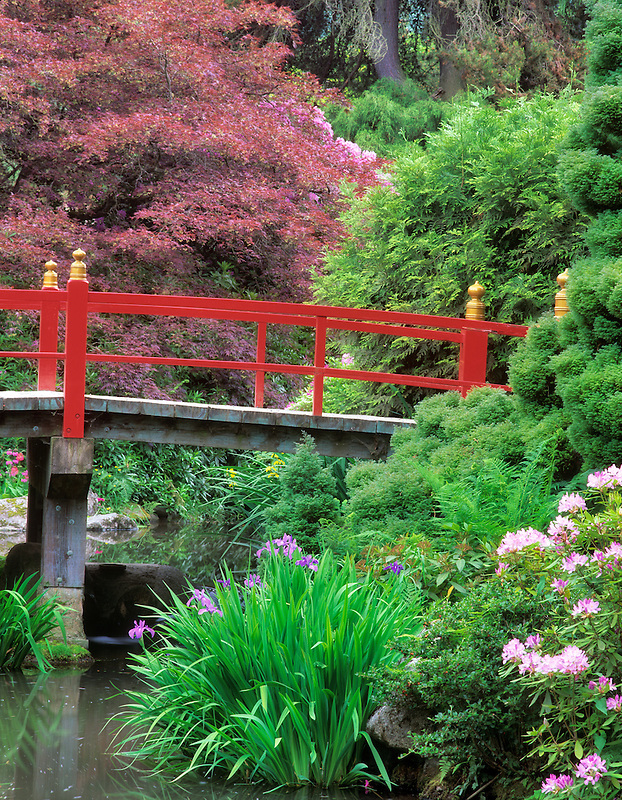 Pond with blooming rhododendrons and iris, and red Japanese bridge, Kubota Japanese Gardens, Seattle, Washington.