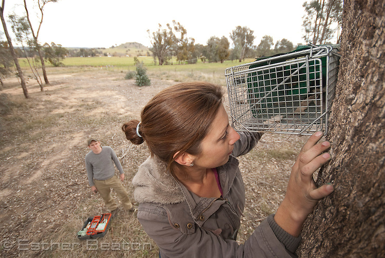 Kylie Soanes, PhD candidate, from University of Melbourne, trapping Squirrel Gliders, Kyeamba (locality) near Holbrook, New South Wales, Australia