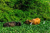Cows and birds in a wetland area, Mathura, Uttar Pradesh, India.