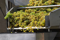 white grapes delivered on a conveyor belt chardonnay clos des langres ardhuy nuits-st-georges cote de nuits burgundy france