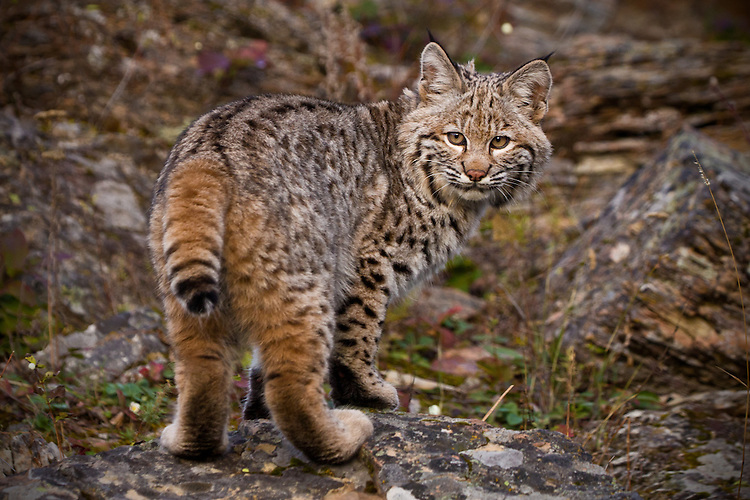 Bobcat looking back over its shoulder - CA