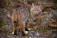 Bobcat looking back over its shoulder - CA
