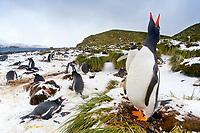 South Georgia Island, Prion Island, Gentoo penguins (Pygoscelis papua)