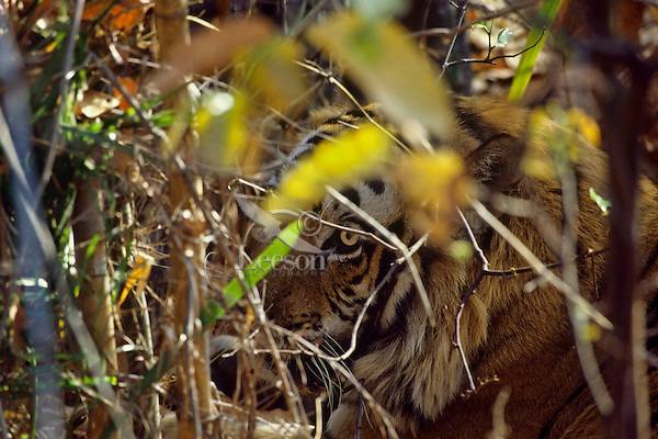 Bengal Tiger (Panthera tigris tigris) hidden by brush, Bandhavgarh National Park, India.