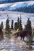 Bull moose rakes antlers on willow branches during mating season, Denali National Park, Alaska