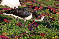 Straw-Necked Ibis, Townsville, Queensland, Australia