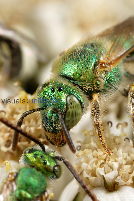 Two Sweat or Metallic Green Bees, Family Halictidae, (Agapostemon) meeting on a flower.