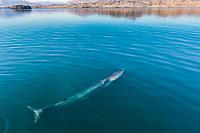 fin whale, blaenoptera physalus, surfacing, Baja California, Mexico, Gulf of California, aka Sea of Cortez, Pacific Ocean