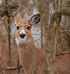 Deer seen on a walk along the Wetlands Trail in Esopus Bend Nature Preserve in Saugerties, NY, Monday, February 19, 2018. Photo by Jim Peppler. Copyright/Jim Peppler/2018.