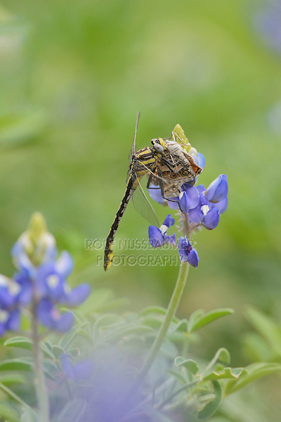 Plains Clubtail (Gomphus externus), adult perched on Texas Bluebonnet (Lupinus texensis) with butterfly prey, Texas, USA