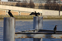 This is a group of three Great Cormorants (Phalacrocorax carbo) that was used to stay on these pillars along the Seine river in Paris, near the mouth of the Canal de Saint Martin. Here one of them shows open wings. Digitally Improved Photo.