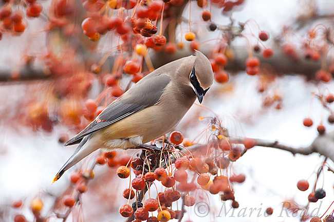 Cedar Waxwing (Bombycilla cedrorum), about to feed on berries, New York, USA