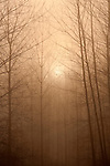 Trees silhouetted in fog sunrise