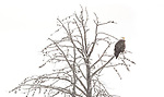 Yellowstone National Park, Wyoming: Bald eagle  (Haliaeetus leucocephalus) in larch tree; winter