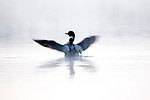 Common Loon, Gavia immer, Canada, wings outstretched floating on water, flapping, Great Northern Diver
