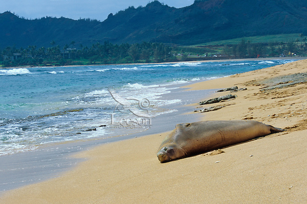 Hawaiian Monk Seal (Monachus schauinslandi) resting on beach on Kauai, Hawaii.  Endangered Species.